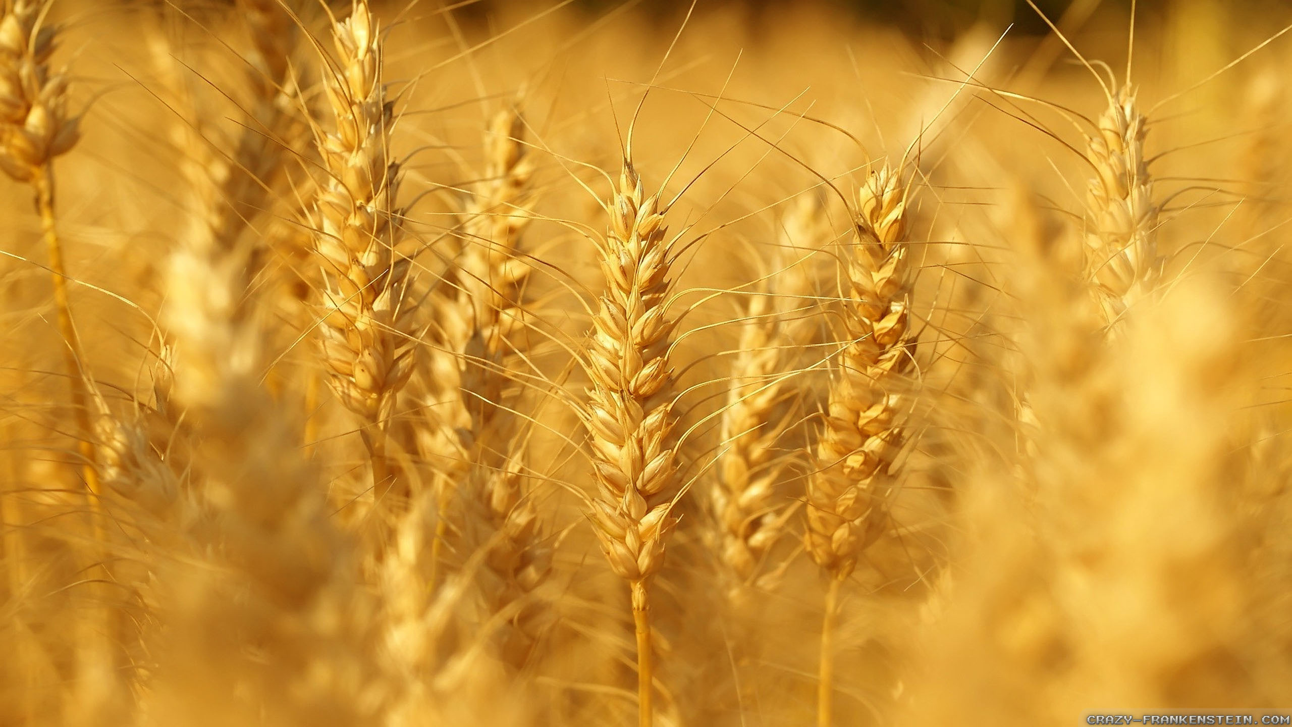 just-like-wheat-summer-nature-wallpapers-2560x1440